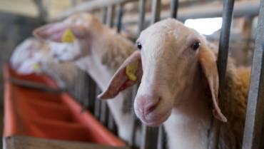 Πρόβατα Assaf.E