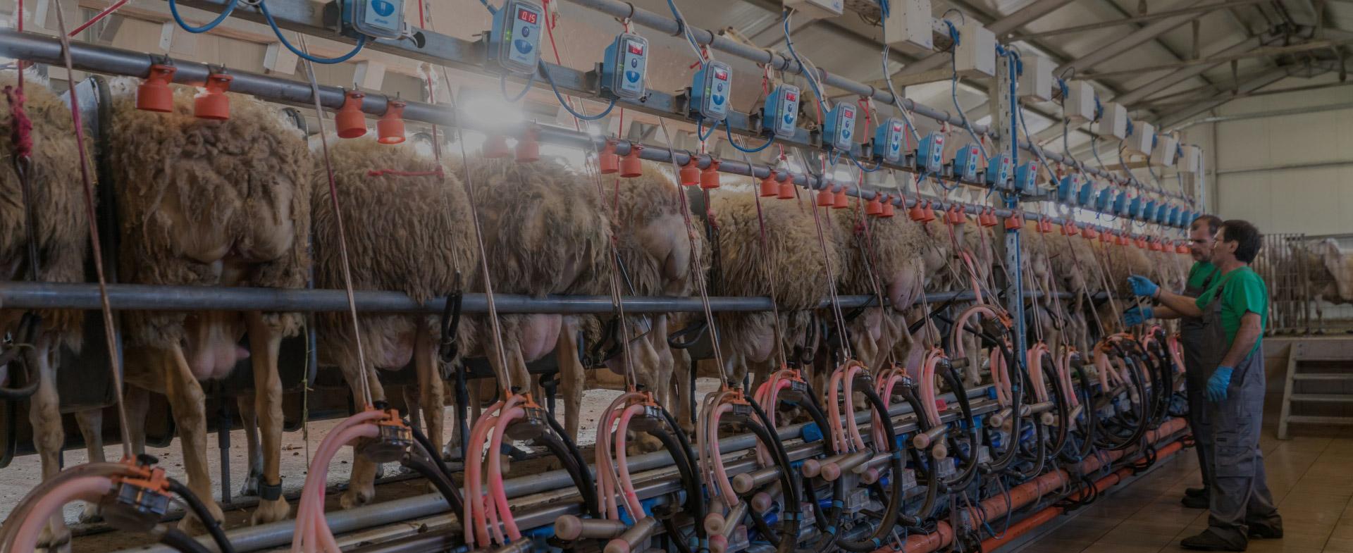Οις Φάρμα - εξέλιξη στην προβατοτροφία